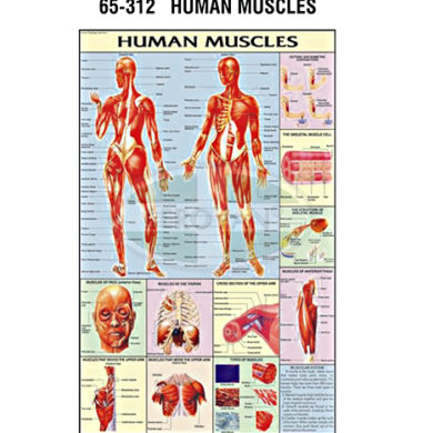 MS Chart – Human Muscles Synthetic 65312