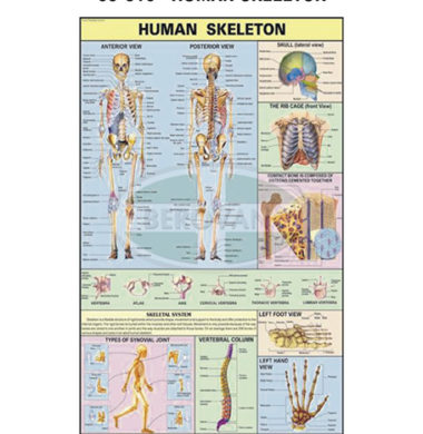 MS Chart – Human Skeleton Synthetic 65310