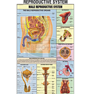 MS Chart – Reproductive System Male Synthetic 65345